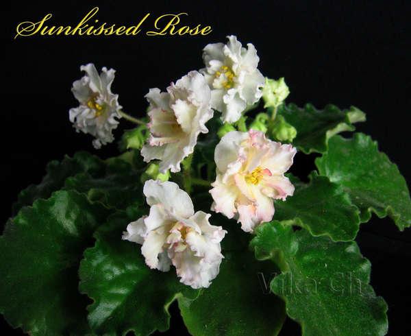 Чем лучше организован уход за фиалками в домашних условиях, тем лучше проявится желтый пигмент на цветках.